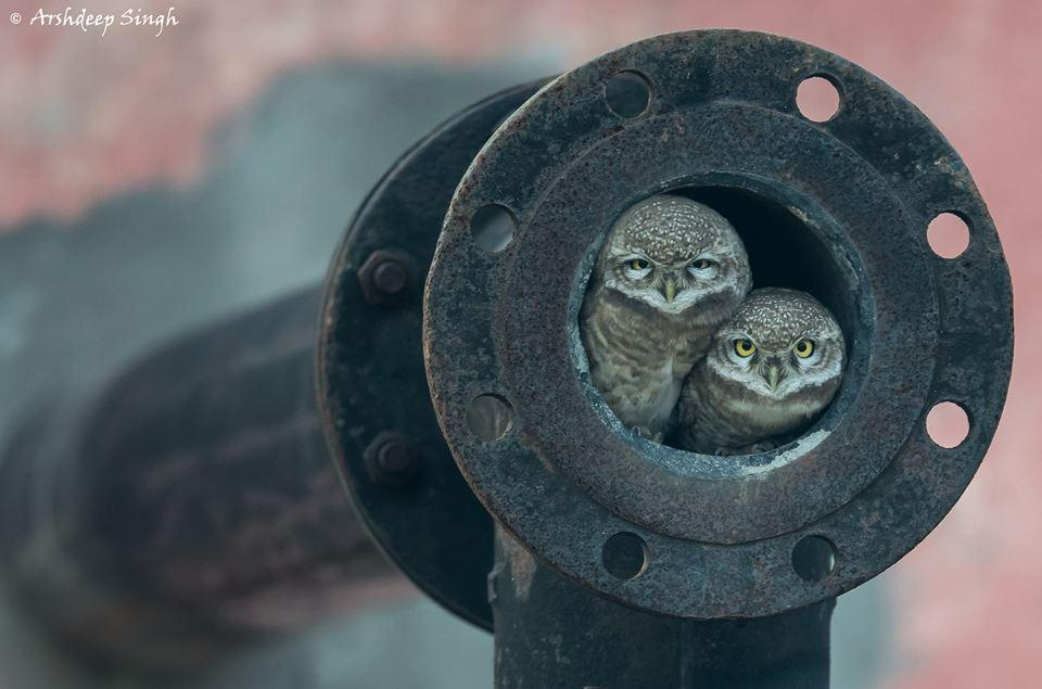 Pipe owls'