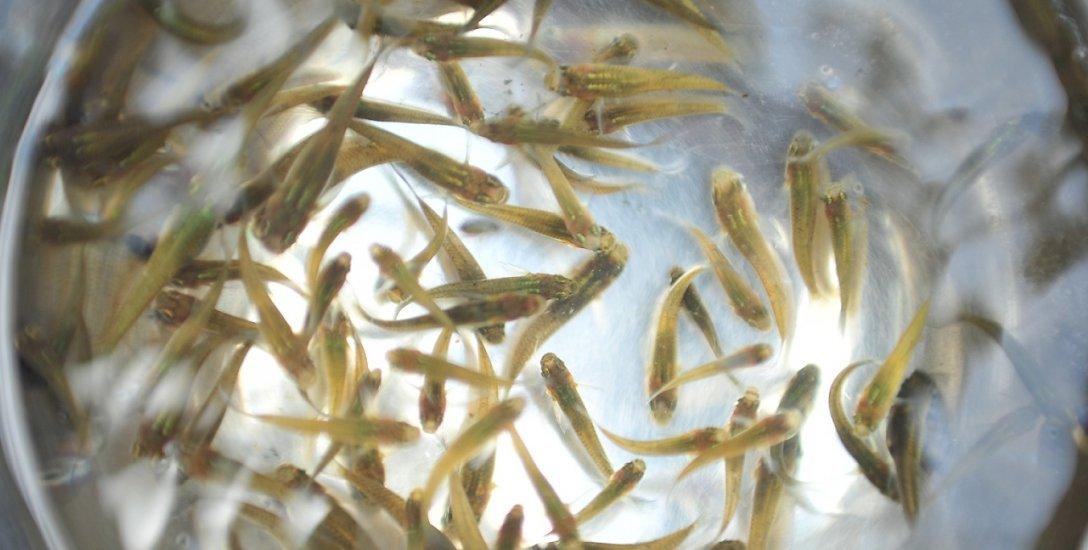 சுற்றுச்சூழல் பாதிப்பில்லாமல் கொசுக்களை அழிக்கும் மீன்கள்... வீடுகளில் வளர்க்கலாம்!