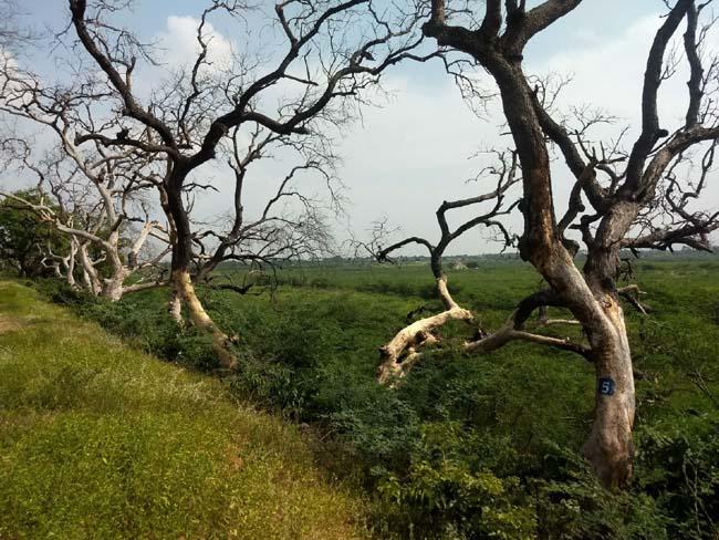 பஞ்சப்பட்டி ஏரிக்கரையில் காய்ந்து நிலையில் மரங்கள்