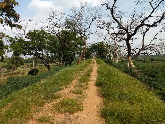 பஞ்சப்பட்டி ஏரிக்கரையில் காய்ந்து நிலையில் மரங்கள்..