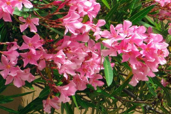 நெடுஞ்சாலைகளில் அதிகம் வளர்க்கப்படும் செவ்வரளி... காரணம் என்ன? Canva-corsican-oleander-plant-mediterranean-MAC1K5X52cw_09437