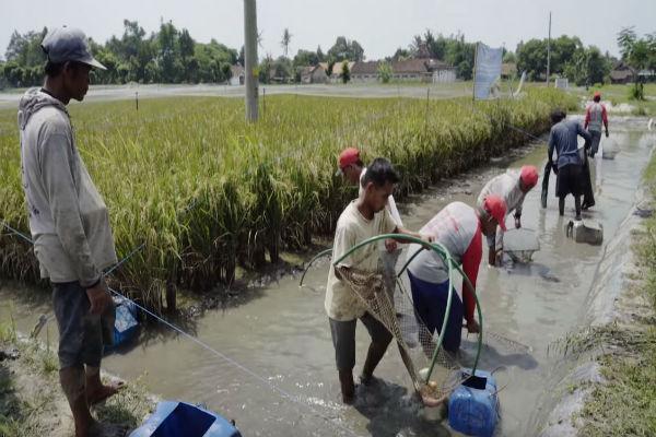 இந்தோனேஷியாவில் நெற்பயிரில் வளர்ப்பு