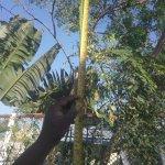 சென்னையில் 100 செ.மீ நீளம் காய்த்த யாழ்ப்பாண முருங்கை!