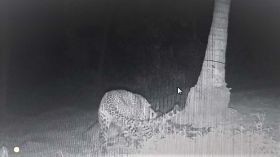 கன்றுக்குட்டியை சிறுத்தை வேட்டையாடி கொல்லும் 'திகில்' காட்சி