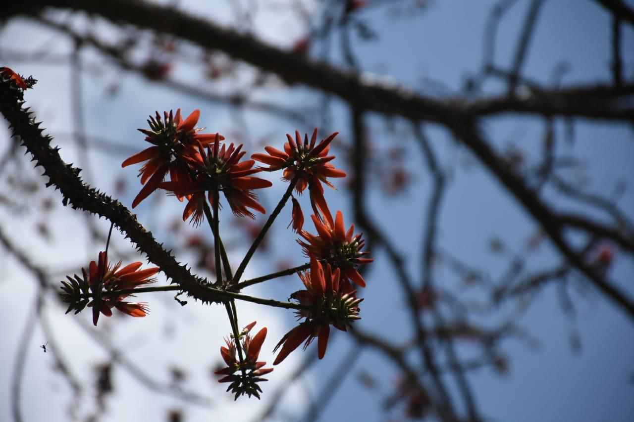 நீலகிரியில் பிளேம் ஆப் தி பாரஸ்ட் மலர்கள்