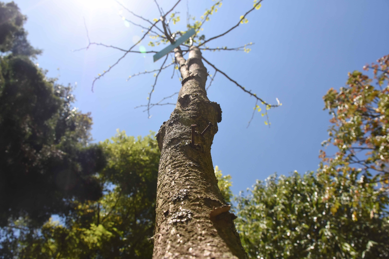 ஜிங்கோ பயலபா மரம்