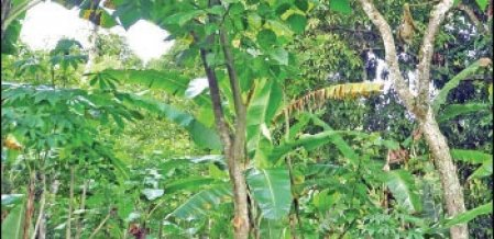 Weekly Income of ₹ 4000… Appeasing Cultivation of Plantation Crops