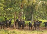 3 Lakhs from 40 Goats… Great Reward from Goats!
