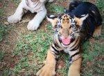 அபூர்வ கறுப்புப் புலிக்குட்டிகள்...வண்டலூரின் 'க்யூட்' புது வரவுகள்!