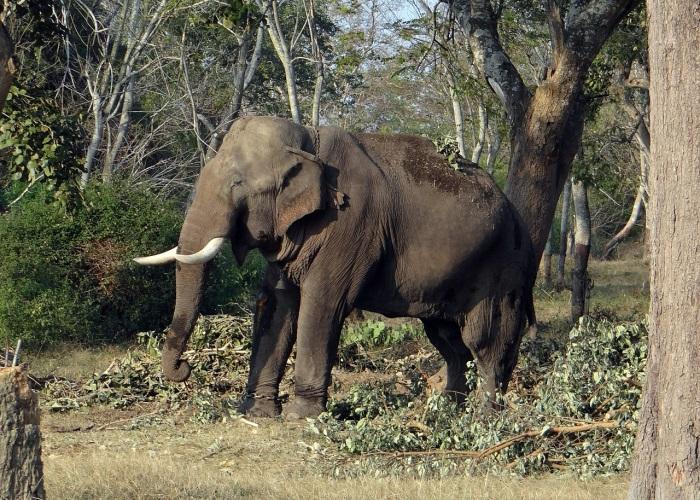 Indian Eephant - இந்தப் பசிதான் யானையின் முதல் எதிரி