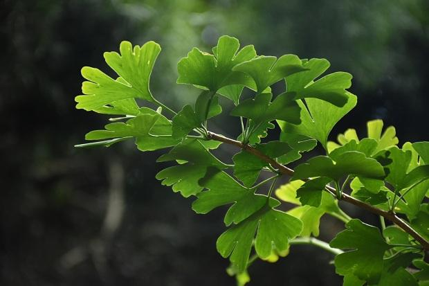 ஜிங்கோ பைலோபா மரம்