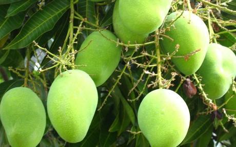 கேரள விவசாயி - மாம்பழம்