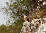 """``நீலகிரியில் அதிகரிக்கும் ஷஹீன் பால்கன் பறவை.. ஆனால்....?"""" - பறவையியலாளர்களின் மகிழ்ச்சியும் எதிர்பார்ப்பும்"""
