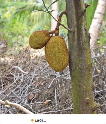 intercrops - Jackfruit