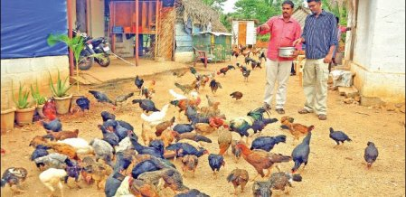 380 hens, 40 roosters, monthly ₹ 2,25,000... Country hens providing significant profit!