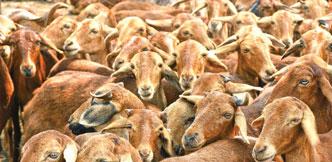 செவ்வாடு... கண்டுகொள்ளப்படாத ஆட்டினம் - அங்கீகாரம் வாங்கித் தந்த ஆராய்ச்சியாளர்!