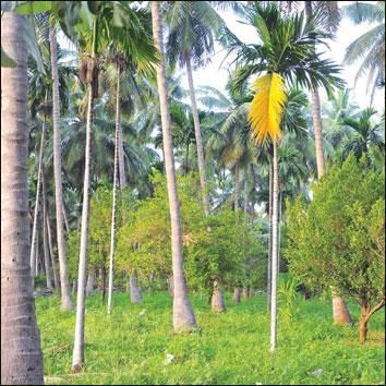10 ஏக்கர் ரூ10 லட்சம் லாபம் தென்னை, பாக்கு, ஜாதிக்காய்...