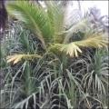 நீங்கள் கேட்டவை: தென்னங்கன்றுகளைக் காக்கும் தாழம்பூச் செடி!
