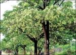 மரம் செய விரும்பு! - 11 - மர்ம காய்ச்சலைக் குணமாக்கும் 'ஏழிலைப்பாலை'