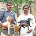 தினமும் ₹ 1,700 - நல்ல லாபம் கொடுக்கும் நாட்டு மாட்டுப்பால்!