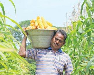 ஏக்கருக்கு ₹ 50 ஆயிரம் வருமானத்தோடு மண்ணுக்கும் உரமாகும் மக்காச்சோளம்!