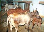 7 மாடுகள்... மாதம் ரூ. 90,000 வருமானம்...'கார் ஷெட்'டில் மாடுகள் வளர்க்கும் ஐ.டி தம்பதி!